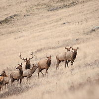bull and cow elk herd on brown grassy slope