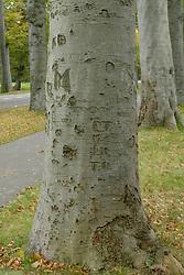 160 jaar oude bomenlaan in s-Graveland wordt gekapt