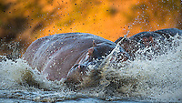 Two male Hippos fighting over a declining pond in Timbavati, South-Africa. One of the animals was evetually killed by his rival.