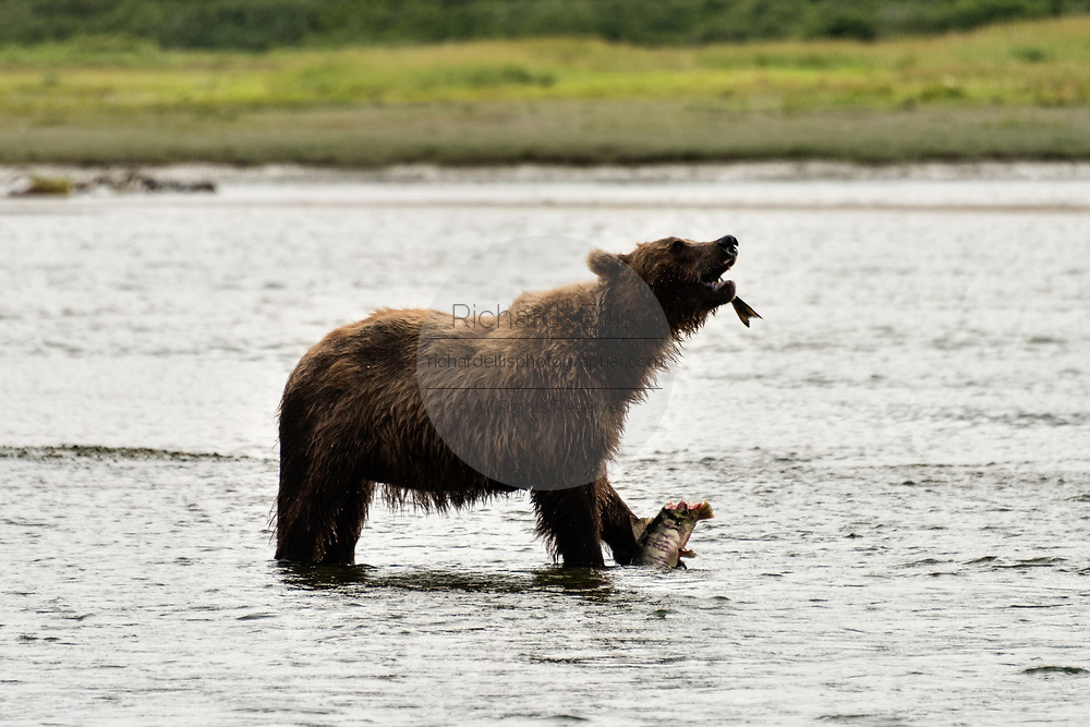 A Brown bear boar eats a chum salmon captured in the lower river at the McNeil River State Game Sanctuary on the Kenai Peninsula, Alaska. The remote site is accessed only with a special permit and is the world's largest seasonal population of brown bears in their natural environment.