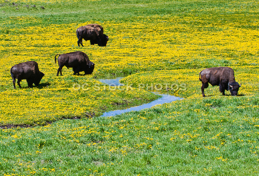 Bison of Yellowstone National Park