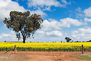 tree in a field of flowering canola crop under blue sky and cloud near Brucedale, New South Wales, Austraila. <br />