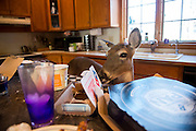 After meals, Dillie rummages through leftovers on the kitchen counter. She isn't discouraged from eating human food but rather encouraged.