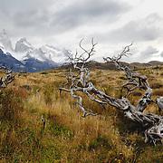 Old tree view of the granite peaks - 18 x 12