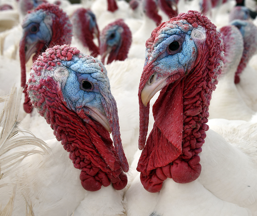 (Photo by Mara Lavitt)<br /> November 14, 2014<br /> The Ekonk Hill Turkey Farm, Moosup is owned and run by the Hermonot family. Broad-breasted whites, the turkey most consumers are familiar with.<br /> mara@maralavitt.com