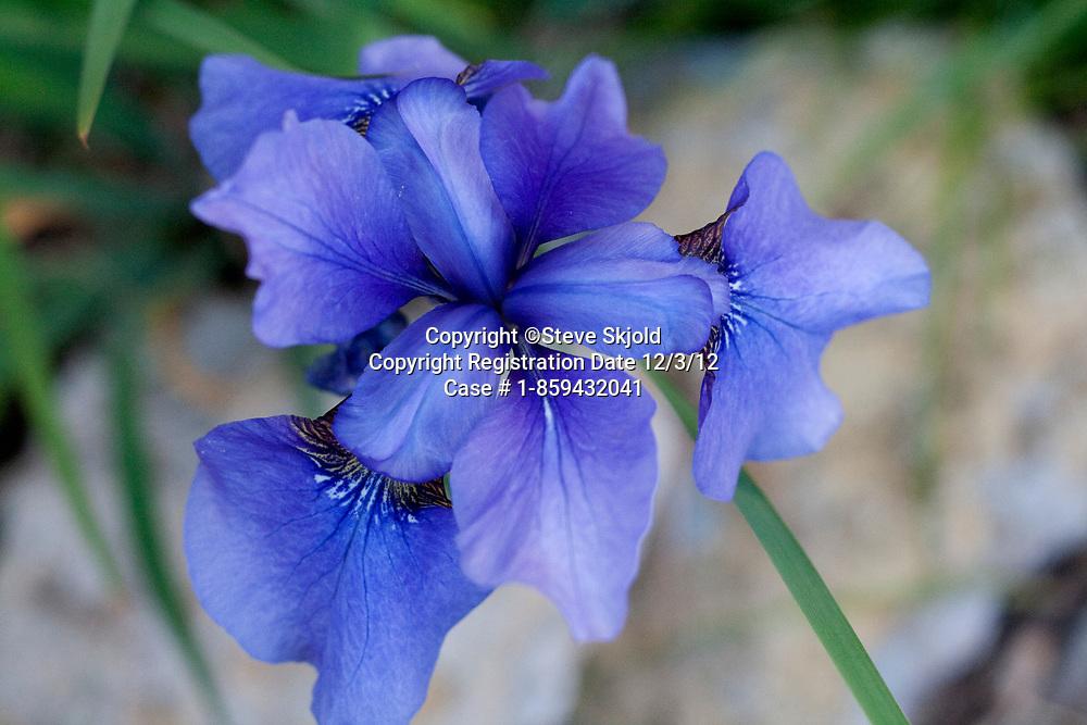 Beautiful blue Iris growing in a garden. St Paul Minnesota MN USA