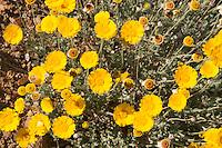 Desert Marigolds (Baileya multiradiata) at Big Bend National Park, Texas