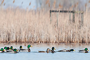 Mallard, Anas platyrhynchos and old duck blind, Erie Marsh, Michigan