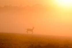 © Licensed to London News Pictures. 02/11/2016. Richmond, UK. A deer prances in the sunrise.  Deer in the frost in Richmond Park London today 2nd November 2016. much of the country experienced a frost overnight. Photo credit : Stephen Simpson/LNP