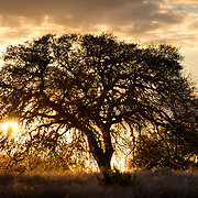 Sunset over Texas Hill Country with a view of magnificent Live Oak tree.