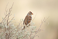 An Immature White Crowned Sparrow perched on top of sagebrush in the west desert of Utah.
