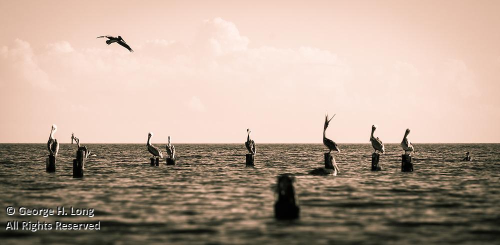 Brown pelicans along the north shore of Lake Pontchartrain in Big Branch Marsh Wildlife Preserve