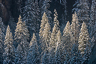 Evergreen trees covered in fresh winter snow, Yosemite Valley, Yosemite National Park, California