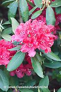 Rhododendron `Sombrero`