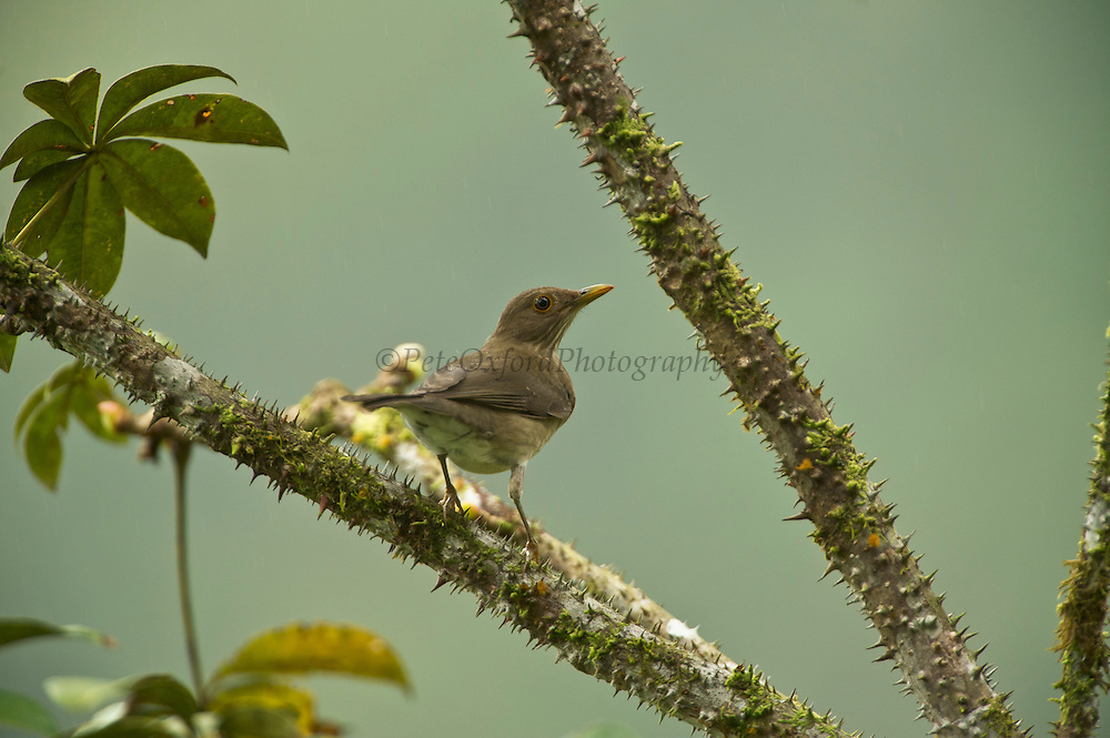 Ecuadorian Thrush (Turdus maculirostris)<br /> Cloud forest<br /> Western slope of Andes<br /> ECUADOR, South America<br /> This thrush in mainly arboreal and rather shy.<br /> HABITAT & RANGE: Found in lightly forested and wooded habitats and adjacent gardens in lowlands and subtropics of western Andes mainly below 1900 meters. Found in coastal west Ecuador and extreme nw Peru.