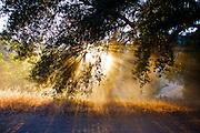 sunburst though leaves, Malibu