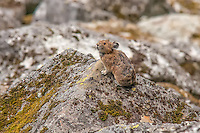 An American pika stands its post on a rock-covered hillside near Cascade Pass in Northern Washington's North Cascades National Park at about 4000 feet in elevation.