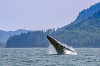 Breaching humpback whale in Peril Strait in Southeast, Alaska.