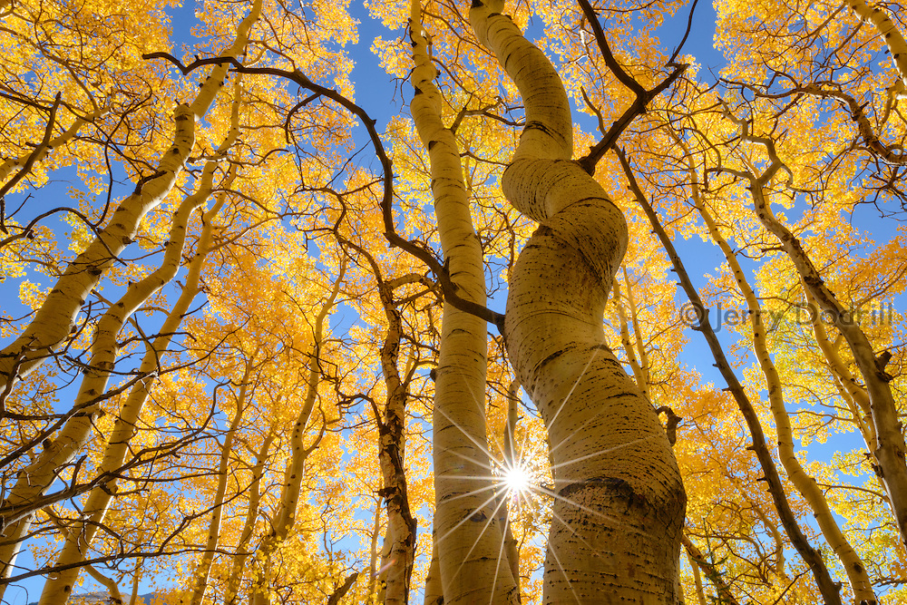 A sun star emerges through aspen trees  in the San Juan Mountains near Ouray, Colorado