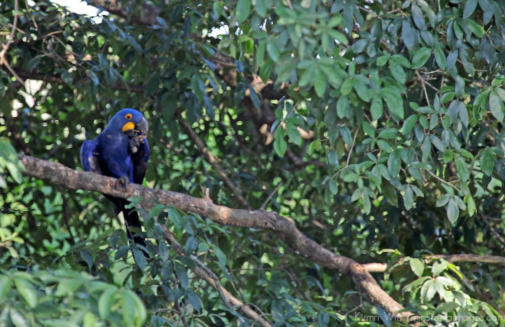 South America, Brazil, Pantanal. Hyacinth Macaw in it's natural habitat of the Pantanal.