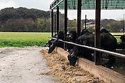 Italie, Carditello, 6-3-2008..Waterbuffels in de regio Napels, in Campania. Van hun melk wordt de beroemde mozzarella kaas gemaakt. De streek kampt echter met grote afval en vervuilingsproblemen. De mozarella bevat vaak te veel dioxine omdat vuilstortplaatsen in de omgeving giftige stoffen in de bodem afgeven, wat in het veevoer voor de buffels terecht komt. Italië..Foto: Flip Franssen