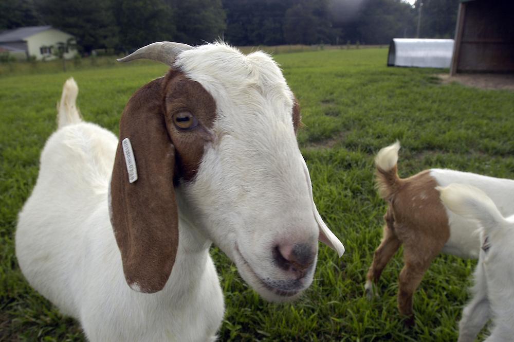 Boer Goats (capra aegagrus hircus) in a field