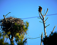 Osprey and nest at Fort De Soto park. Image taken with a Fuji X-H1 camera and 200 mm f/2 OIS lens + 1.4x teleconverter (ISO 200, 280 mm, f/4, 1/1500 sec).