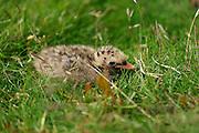 Küsten-Seeschwalbe, Küstenseeschwalbe, Küken, Jungvogel, Seeschwalbe, Sterna paradisaea, Arctic tern