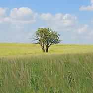 lone tree in kansas in prairie