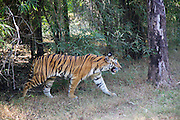 Marchani, a Female Indian tiger, after a kill in Bandhavgarh National Park, India