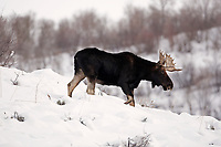 A young Bull Moose travels across a ridgeline.