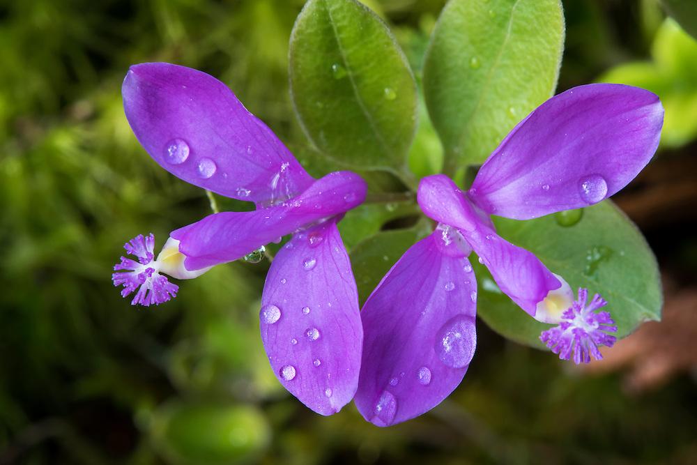 Fringed Polygala, Gaywings, Polygala paucifolia, Mackinac County, Michigan