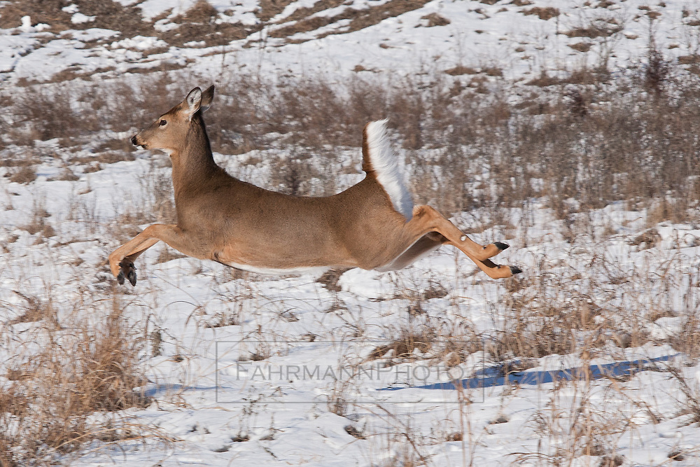 A White Tailed Deer runs after being startled in a housing development border area