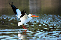 When I saw this American White Pelican flying over the water,  I quickly took out my Canon 300mm lens to take a photo of this bird in flight.