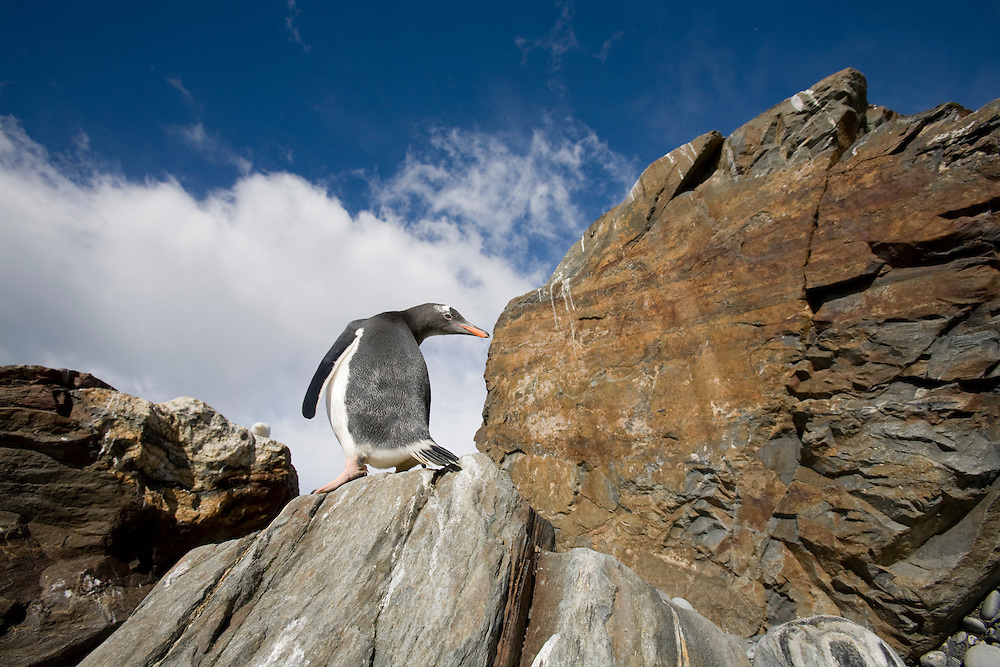 Antarctica, South Georgia Island (UK), Gentoo Penguin (Pygoscelis papua) standing on rock along Golden Harbour on late summer morning