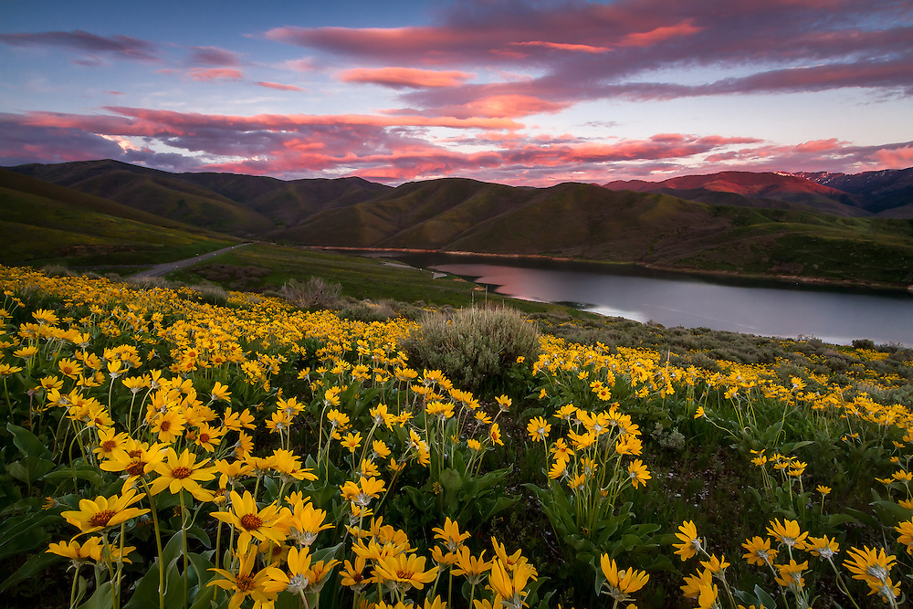 A blanketed hillside of yellow balsomroot, aka mule ear, wildflowers at sunset in East Canyon of the Wasatch Mountains near Salt Lake City, Utah.