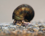 Snail<br /> <br /> Isaac Szabo/Engbretson Underwater Photography
