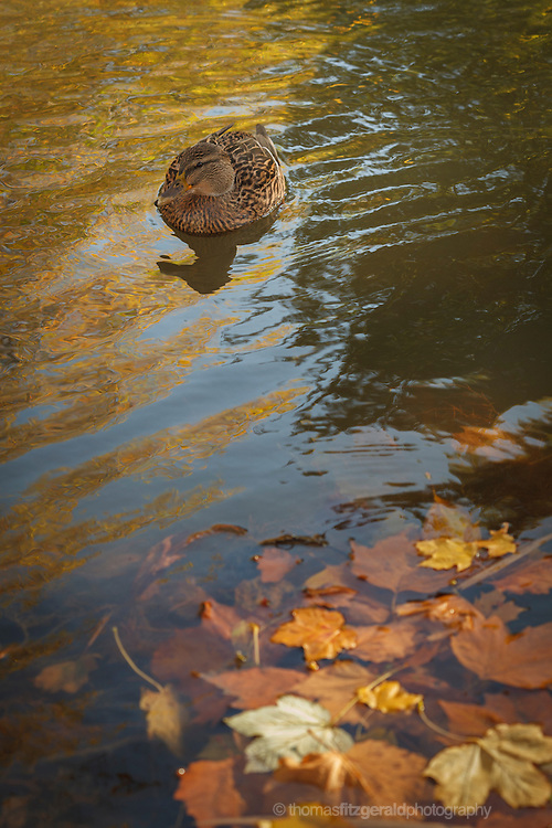 Autumn in Ireland, 2012: A lone duck swims by some fallen Autumn leaves on the Grand Canal in Dublin, Ireland