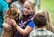 Girl petting an Alpaca at the Martha's Vineyard Harvest Fest, West Tisbury, Massachusetts, USA