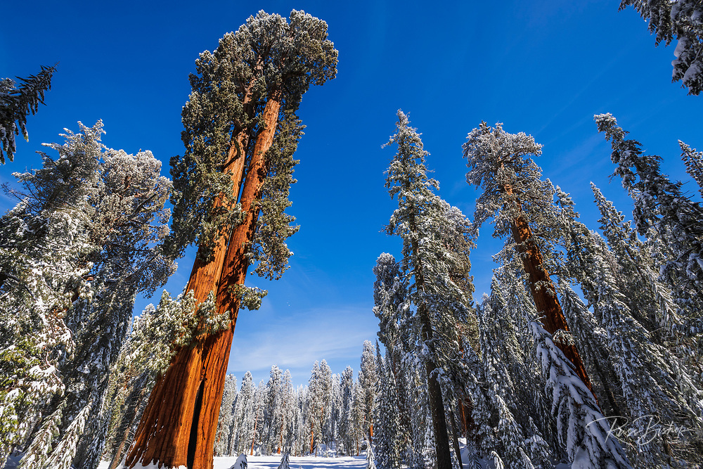 Giant Sequoias in winter at Circle Meadow, Sequoia National Park, California USA