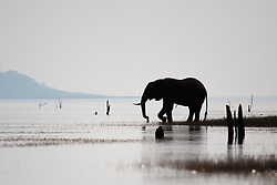 A wild elephant comes to drink at Lake Kariba, Zimbabwe