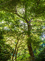 The tree canopy in a part of the Japanese Gardens in Golden Gate Park, San Fransisco, California, USA.