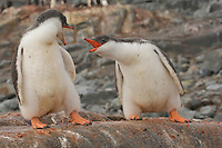 Two Gentoo Penguins (Pygoscelis papua) on Jougla Point, Wieneke Island.