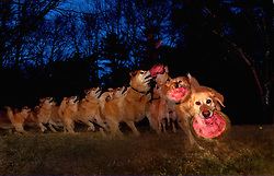 A series of repeat flashes were used to create an image of a moving dog running to catch a Frisbee. A second similar  image was made. the two images were merged to create a final photograph of Henry, a dog with frisbee, in perpetual motion,