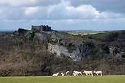 Sheep grazing in a field on the estate of Carreg Cennen Castle, Trapp, Brecon Beacons, Powys, UK. The castle has been in a ruinous state since 1462 and is under the care of Cadw, the Welsh Government historic environment service, however the estate is used as working farm land.  (photo by Andrew Aitchison / In pictures via Getty Images)