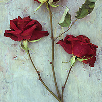 Three dried deep red roses lying with their stems and leaves on marbled slate stone