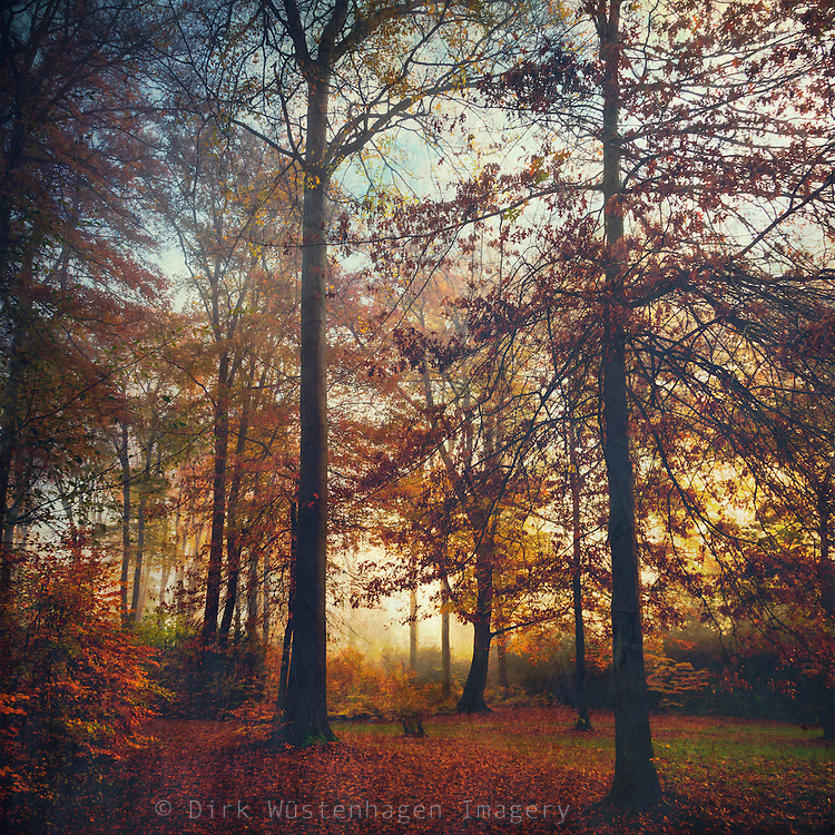Colorful beech tree forest in fall