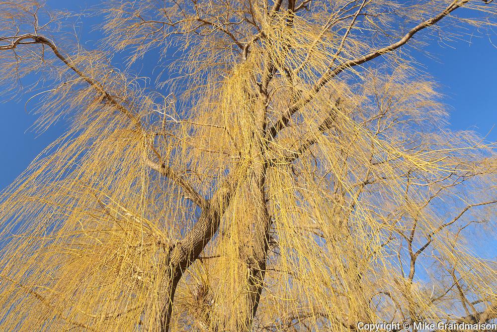 Weeping willows in urban park <br /> Burlington<br /> Ontario<br /> Canada