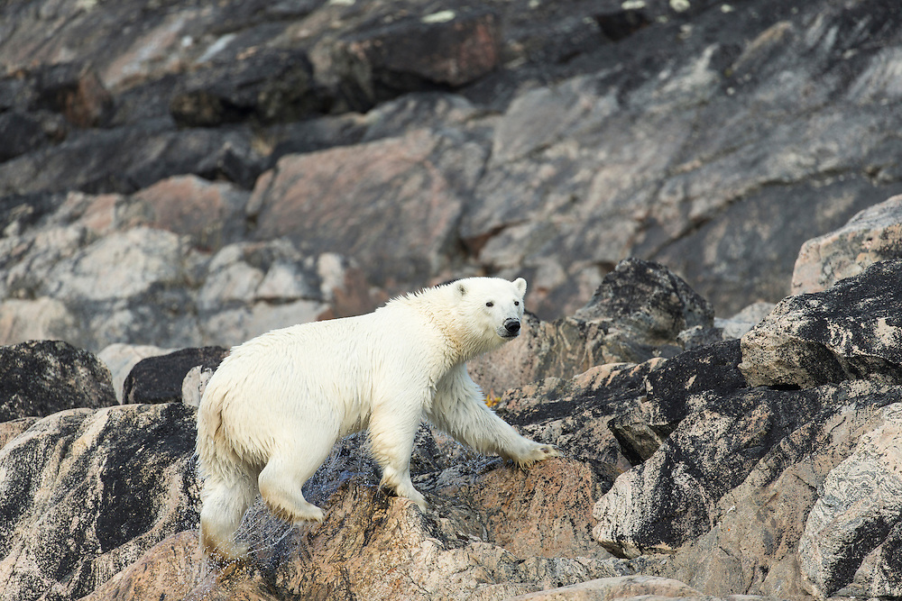 Canada, Nunavut Territory, Repulse Bay, Polar Bear (Ursus maritimus) walking along rocky shoreline of Melville Peninsula along Hudson Bay near Arctic Circle