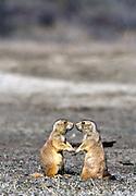 Black-tailed prairie dogs. Theordore Roosevelt National Park, Noth Dakota